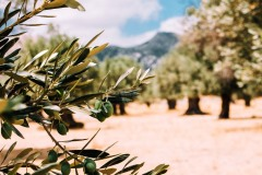 olive puglia visites avec guide